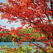 Red Maple On Lake Shore Poster