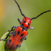 Red Milkweed Beetle Poster