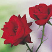 Red Mr. Lincoln Roses Poster