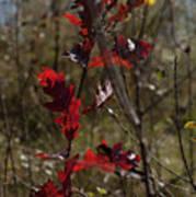Red Oak Poster