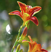 Red Orange Day Lilies I Poster
