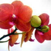Red Orchid Flowers 02 Poster