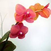 Red Pink Golden Orchid Flowers 03 Poster