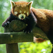 Red Panda Ailurus Fulgens Jerez De La Frontera Spain Poster