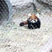 Red Panda Cub Poster
