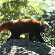 Red Panda In A Tree Poster