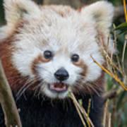 Red Panda Wonder Poster