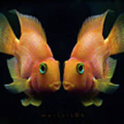 Red Parrot Fish Poster by MariClick Photography