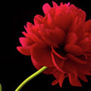 Red Peony  Poster