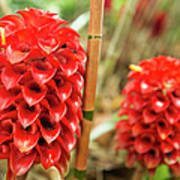 Red Pineapple Ginger Plant Poster
