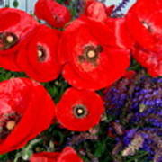 Red Poppy Cluster With Purple Lavender Poster