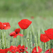 Red Poppy Flower And Green Wheat Nature Spring Scene Poster