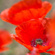 Red Poppy For Remembrance Poster
