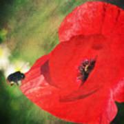 Red Poppy Impression Poster