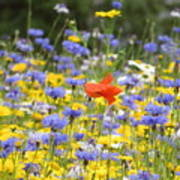 One Red Poppy Amongst The Wildflowers Poster