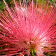Red Powder Puff Tropical Flower Poster