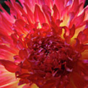 Red Purple Dahlia Flower Summer Dahlia Garden Baslee Troutman Poster