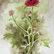 Red Ranunculus Poster
