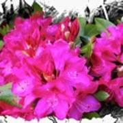 Red Rhododendron Flowers Poster