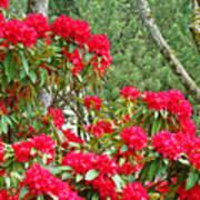 Red Rhododendron Garden Art Prints Rhodies Landscape Baslee Troutman Poster
