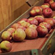 Red Ripe Macintosh Apples Poster