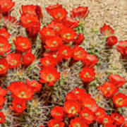 Red Rock Flowers Poster