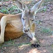 Red Roo Resting Poster