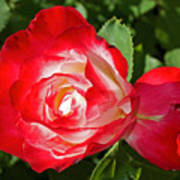Red Rose And A Sidecar At Pilgrim Place In Claremont-california Poster