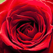Red Rose Colour Isolated On A Green Background. Poster
