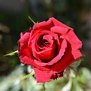 Red Rose Landscape Poster