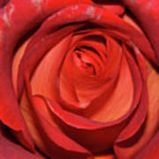 Red Rose Up Close Poster