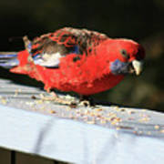 Red Rosella Poster
