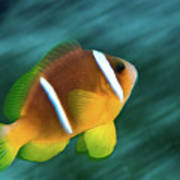 Red Sea Clownfish  Poster
