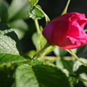 Red Semi Rose Bud Poster