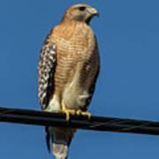 Red-shoulder Hawk Poster