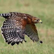 Red-shouldered Hawk Flight Poster