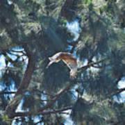 Red Shouldered Hawk Flying Away 1 Poster