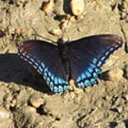 Red Spotted Purple Astyanax Poster