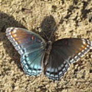 Red-spotted Purple Butterfly Poster