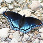 Red Spotted Purple Poster