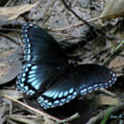 Red Spotted Purple Swallowtail Butterfly Poster
