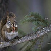 Red Squirrel Having Lunch Poster