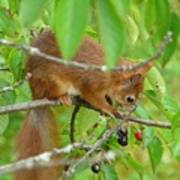 Red Squirrel In The Cherry Tree Poster