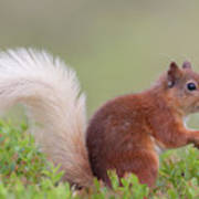 Red Squirrel Pauses Poster