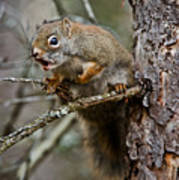 Red Squirrel Pictures 161 Poster