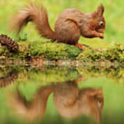 Red Squirrel Reflection Poster
