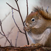 Red Squirrel - Sciurus Vulgaris Poster
