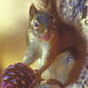 Red Squirrel With Pine Cone Poster