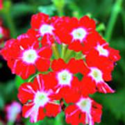 Red Star Flower Poster
