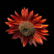 Red Sunflower On Black Poster